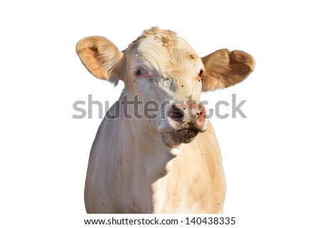 calf cow isolated on white - stock photo