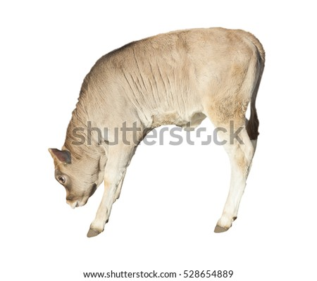 calf farm animal isolated