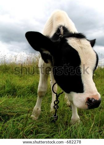 Calf in a field - stock photo