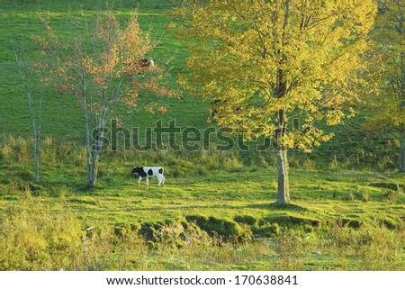 Calf in late afternoon light on a Maine farm in Fall.  - stock photo