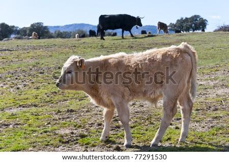 Calf in meadow at Guadarrama Mountain, Madrid, Spain - stock photo