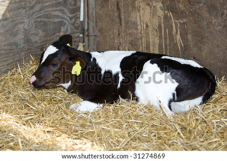 Calf is resting in his shed. - stock photo