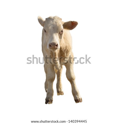 calf  isolated on white - stock photo