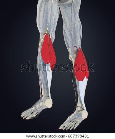 Calf Muscles Human Anatomy Gastrocnemius 3d Stock Illustration