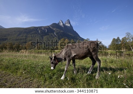 Calf of a reindeer  in Norwegian nature