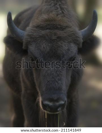 Calf of European wood  bison (Bison bonasus), Prioksky-terraced reservation, Russia - stock photo