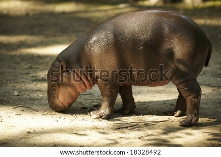 calf of pygmy hippopotamus searching for food on a ground in a Zoo