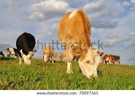 Calf on a summer pasture