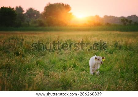 Calf on pasture - stock photo