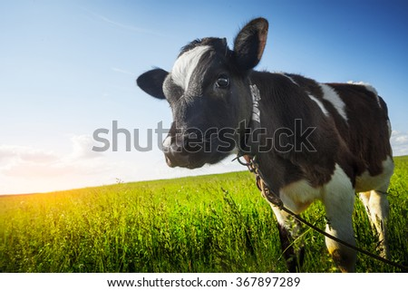 Calf on the green sunny meadow - stock photo