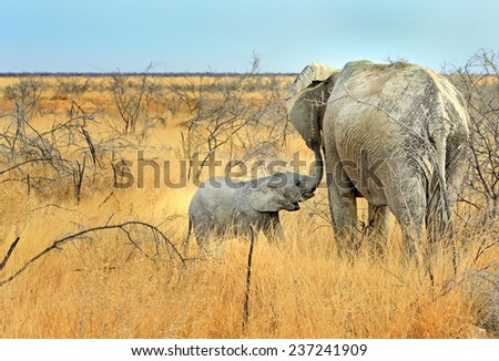 Calf suckling from Mother Elephant in Etosha - stock photo