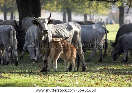 calf sucks milk from his mother - stock photo