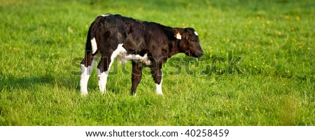 calf with green grass backdrop