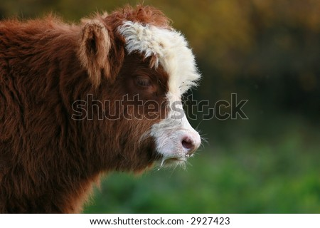 calf with milk on lips