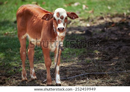 Calf with red spots tied with rope - stock photo