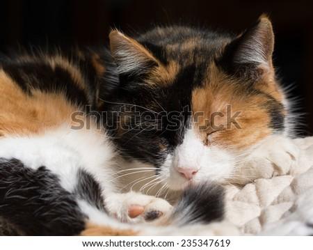 Calico cat asleep in sun - stock photo