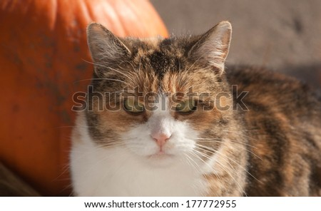 calico cat by pumpkin