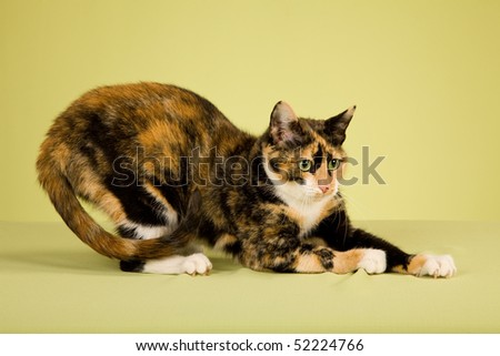 Calico cat clawing on green background - stock photo