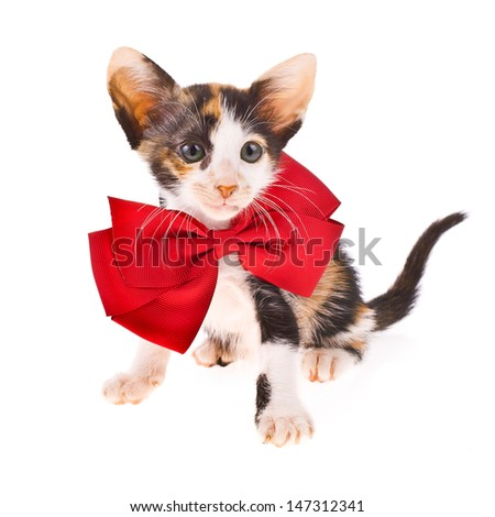 Calico cat - little kitty with a red bow at the neck  isolated on white background - stock photo