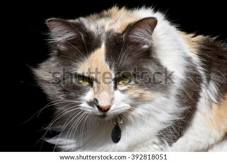 Calico cat portrait