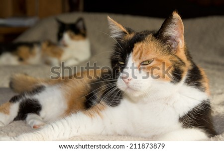 Calico cat resting on a bed, with another one on the background - stock photo