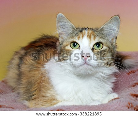 Calico cat sitting on a dirty pink blanket with yellow and pink textured background looking forward