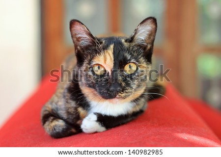 Calico cat sitting on a roll of red carpet - stock photo