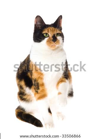 Calico cat sitting on white background - stock photo