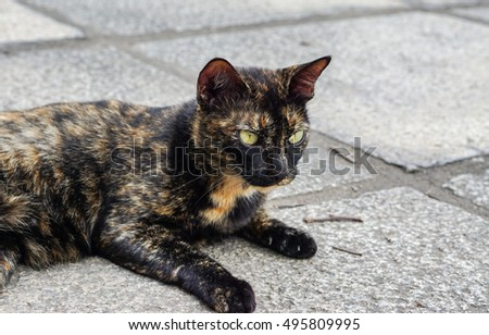 Calico Cat with unfriendly face lying on the street in the summer