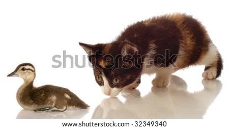 calico kitten hunting a baby mallard duck on white background - stock photo
