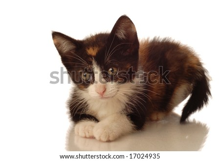 calico kitten lying down on white background - seven weeks old - stock photo