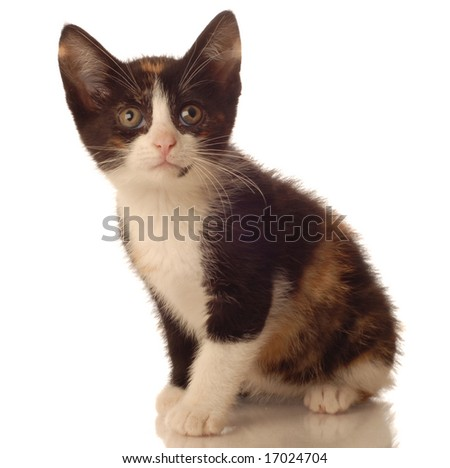 calico kitten sitting on white background - seven weeks old - stock photo