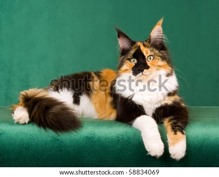 Calico Maine Coon cat on green background - stock photo