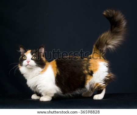 Calico Munchkin on black background - stock photo