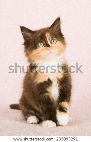 Calico tortie kitten sitting on pink background - stock photo