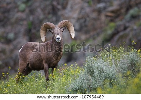 California Bighorn Sheep standing in a field with wildflowers in northern Washington, near the Canadian border; Pacific Northwest wildlife / outdoors / animal / nature - stock photo