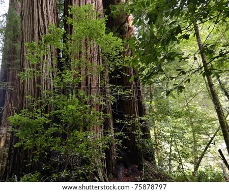 California coastal redwood forest near Crescent City, California - stock photo