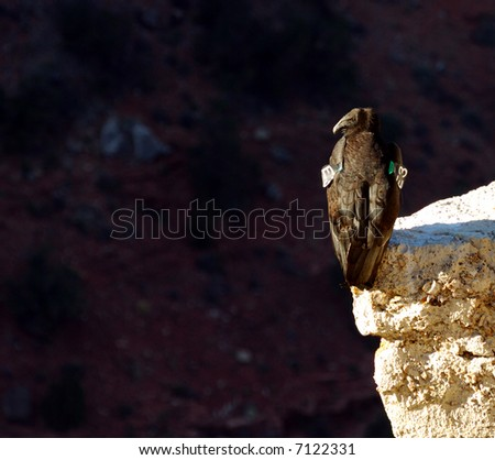 California Condor On Cliff at Grand Canyon in Arizona - stock photo