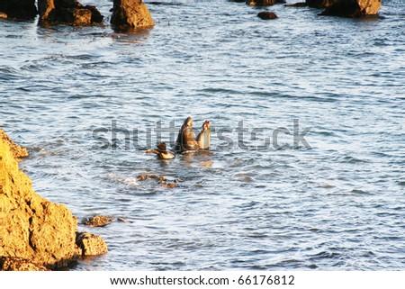 California elephant seal - stock photo