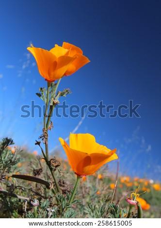 California Golden Poppies, Big Sur, California, USA - stock photo