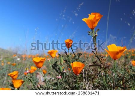 California Golden Poppies, California, USA - stock photo