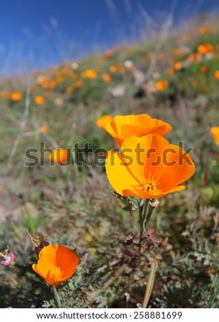 California golden poppy field - stock photo