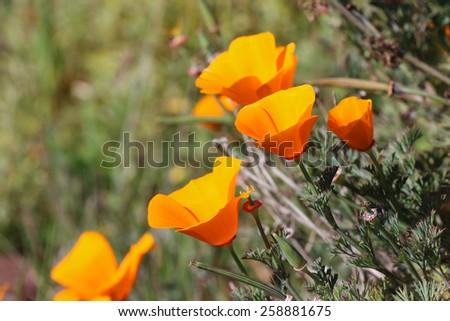 California golden poppy flowers - stock photo