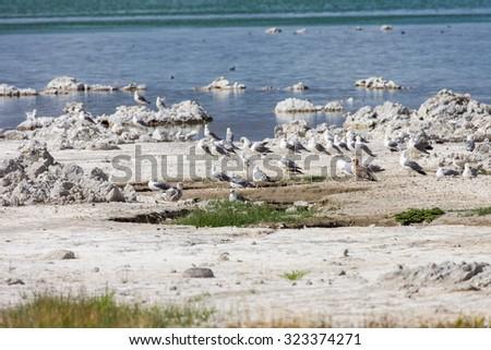 California Gulls (Larus californicus) on the banks of Mono Lake - stock photo