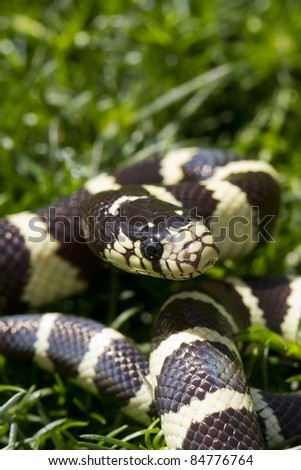 California King Snake Coiled Ready to Strike - stock photo