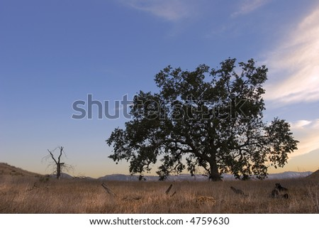 California Oak in Sunset