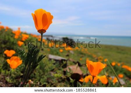 California orange poppy flower - stock photo