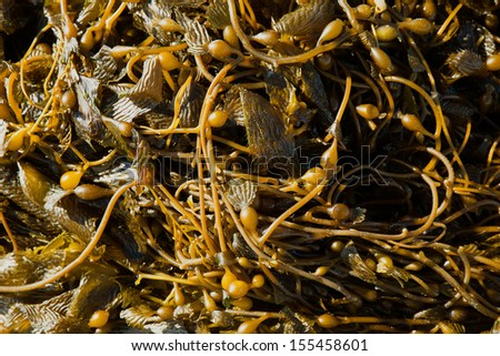 California Pacific seaweed Giant kelp Macrocystic pyrifera macro texture - stock photo