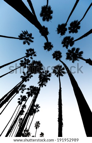 California Palm trees view from below in Santa Barbara US - stock photo