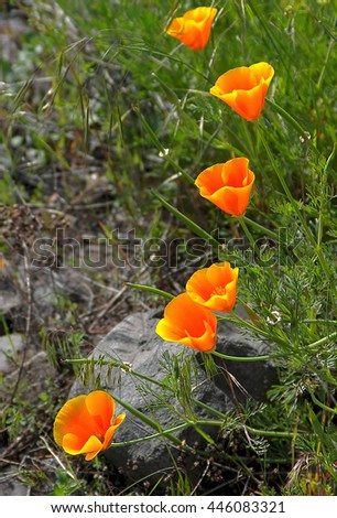California Poppies -- A gentle curve of blooming california poppies